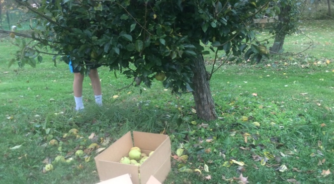 Bringing in the winter pears