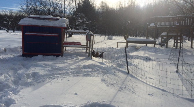 Shoveled out some trails for the chickens